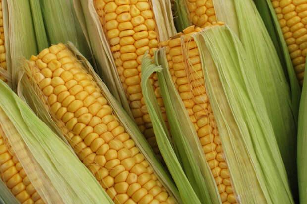У меня всегда отличный урожай кукурузы!