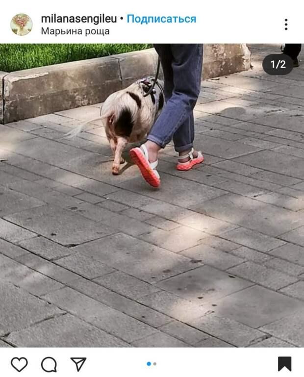 Фото дня: в Марьиной роще гулял минипиг