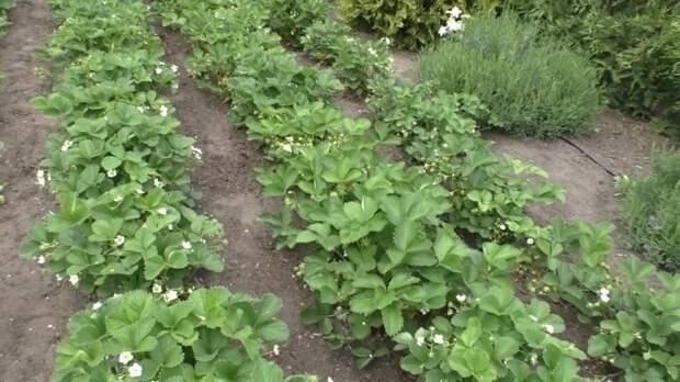 Органическое удобрение для подкормки клубники: ягода увеличится на глазах