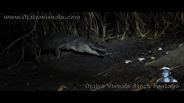 Видео: Как мама-аллигатор защищает своих детенышей