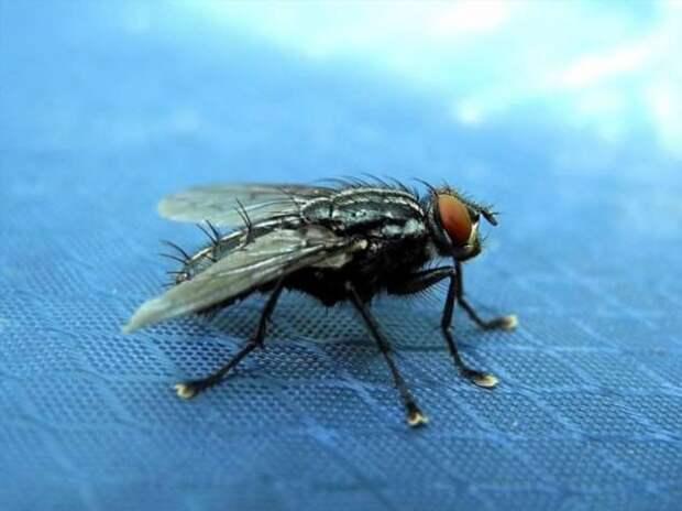 Какой вес способна поднять муха (+видео)