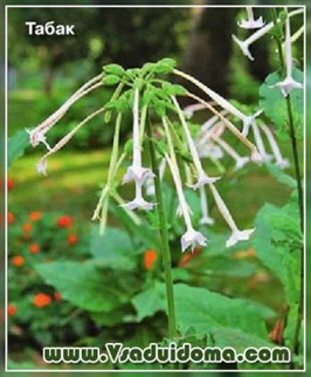 Ароматные растения и цветы для сада (названия и фото)