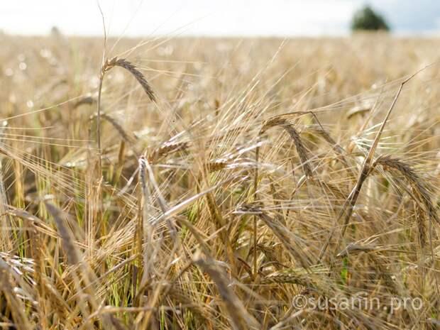 Несмотря на дождливую погоду, аграрии Удмуртии собрали на 7% больше зерна