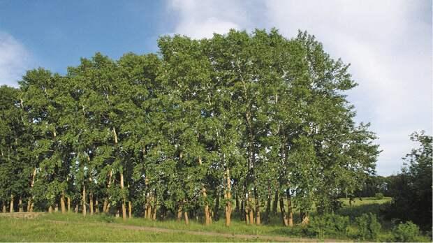 Полноценный лес за 5 лет — Китай экспериментирует с генетикой деревьев