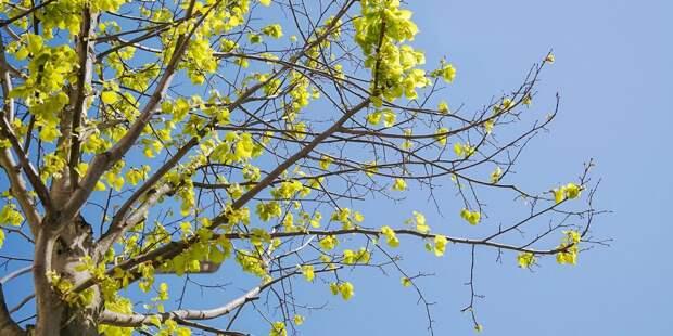 Вместо сухостоя на Новокуркинском шоссе появилось новое дерево