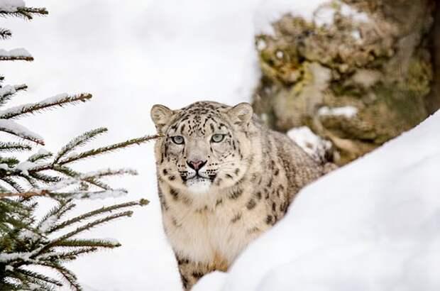 Снежный Барс, Большие Кошки, Кошка, Снег
