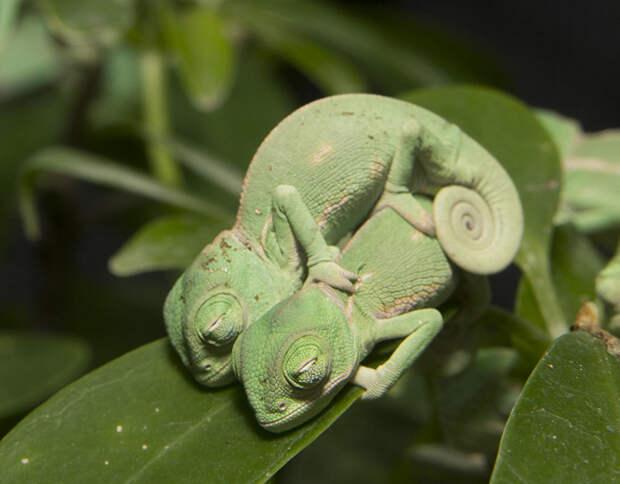 cute-baby-chameleons-583436cec3472__700