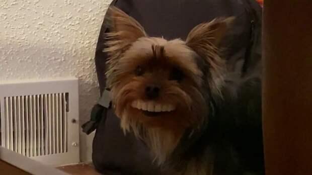 Крошечный терьер обзавелся огромной улыбкой и тем самым насмешил хозяина