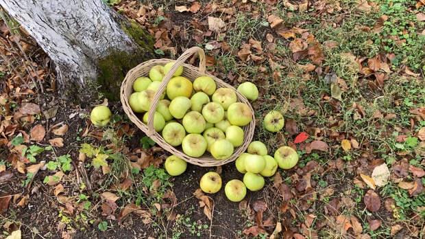 Моченые яблоки. Наше кулинарное наследие. Старинный русский рецепт