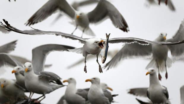 Чайка в штате Мэн