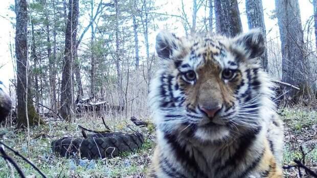 Тигрицу подготовили к самостоятельной жизни и выпустили в Приамурье