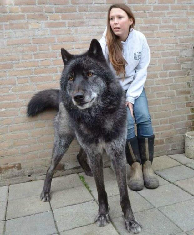 Волкособы: животные выросли до размеров волка, но остались преданными человеку