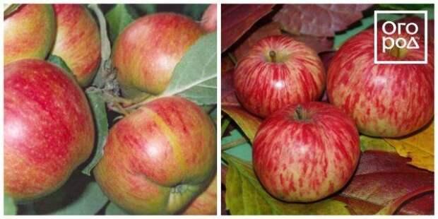 яблоки коричное новое