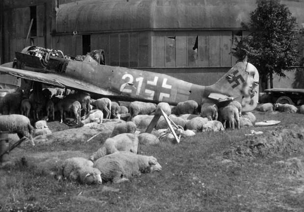 Овцы пасутся под разрушенным Fw-190 под Нюрнбергом летом 1946 года