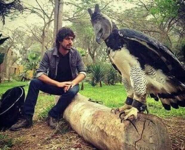 Южноамериканская гарпия рядом с человеком. Фото взято из открытых источников