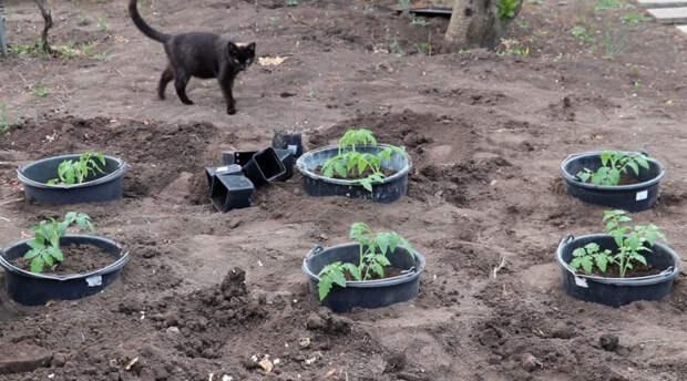 Эффективный немецкий способ посадки томатов с необычным удобрением