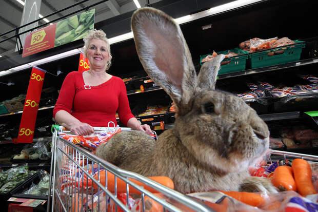 Украден самый крупный кролик в мире