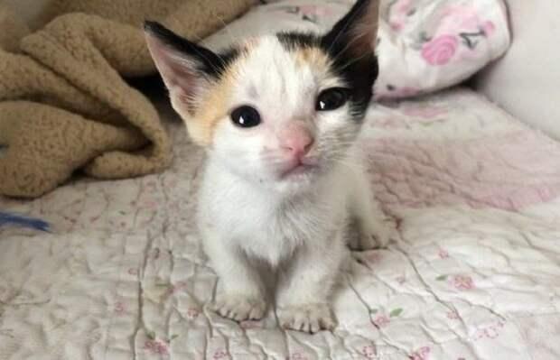 """Котенок окраса """"калико"""""""