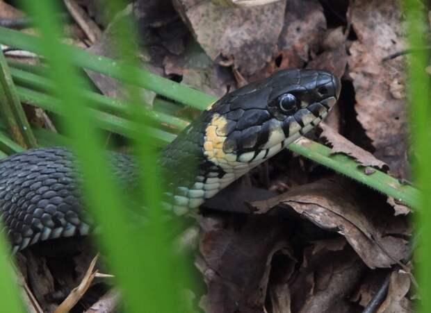 Редкие змеи облюбовали Яузу