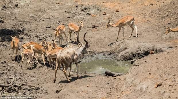 Спасаясь от крокодила, антилопы взлетели почти на три метра! антилопы, животные, импалы, нападение хищника, невероятный полет