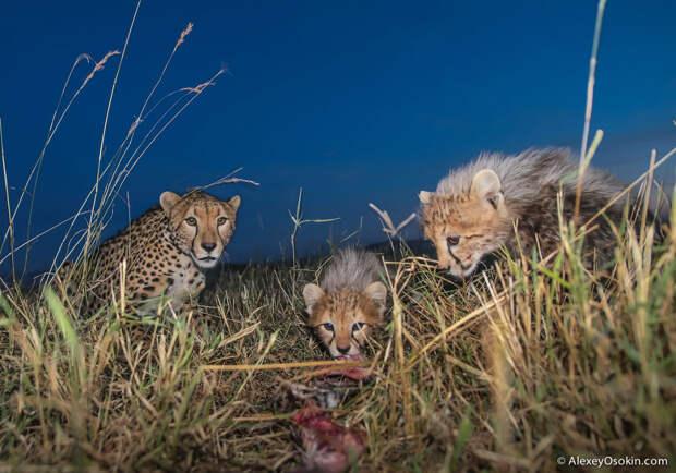 Жизнь гепардов в объективе