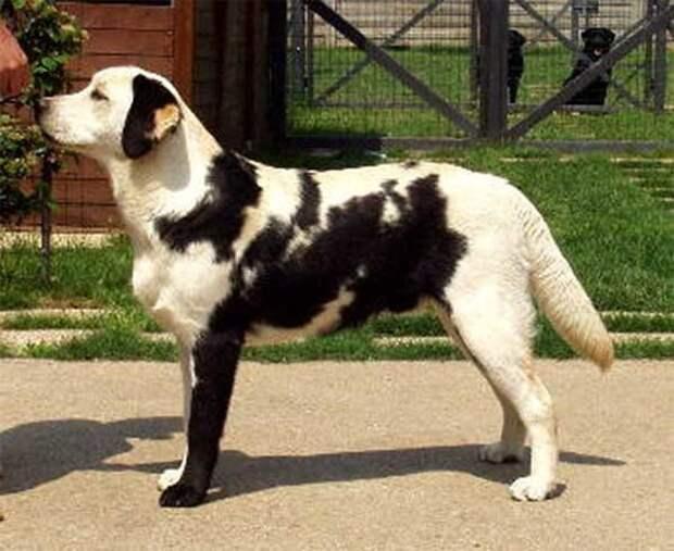 Мозаичный лабрадор животные, мутации, невероятно, необычно, окрас, собаки, удивительно, фото