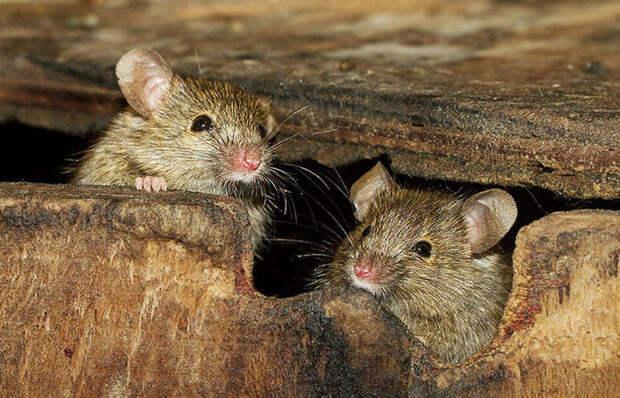 Простой уральский способ, как отпугнуть мышей и крыс от дома