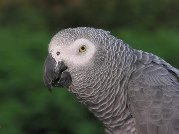 Бери, друг: серые попугаи оказались настоящими альтруистами и удивили ученых