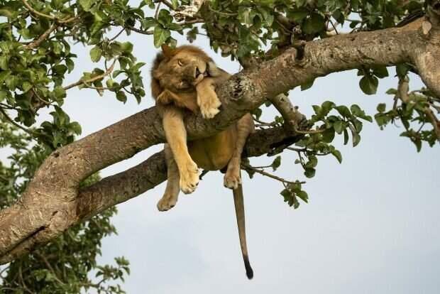 Царь зверей изволит отдыхать: фотографии из африканского заповедника