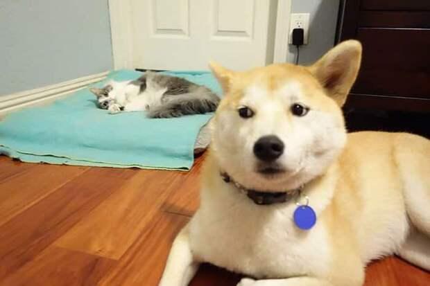 10+ кошек, которые отжали постель у собак и наслаждаются этим