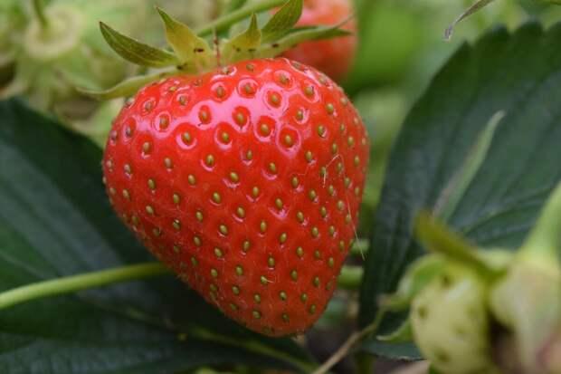 Как выращивают клубнику на продажу в Китае. Секреты богатого урожая
