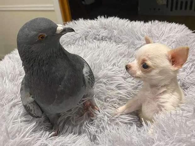 голубь с псом