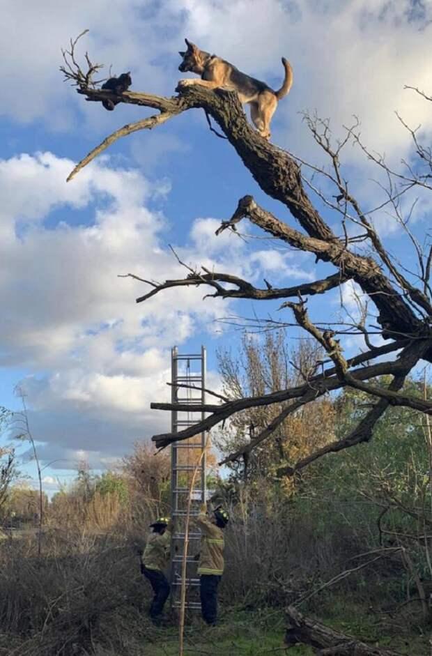 Овчарка в ужасе смотрела вниз: только что она застряла на дереве, догоняя кота