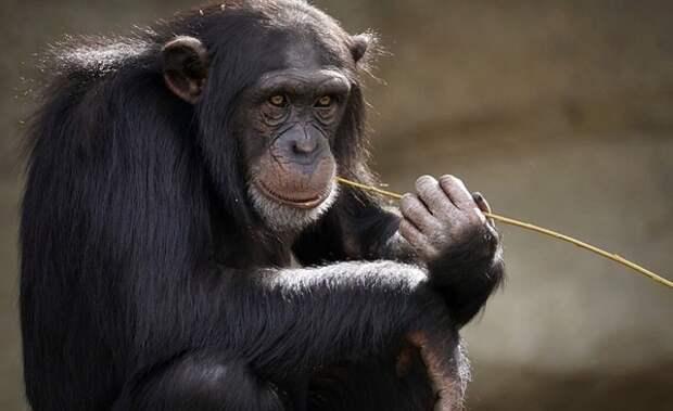 Исследователи обнаружили у шимпанзе новую «цивилизацию»