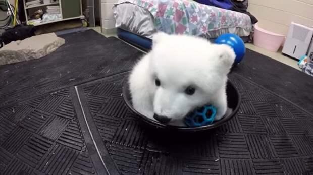 Белый медвежонок выжил благодаря добрым людям, посмотрите, каким же он стал
