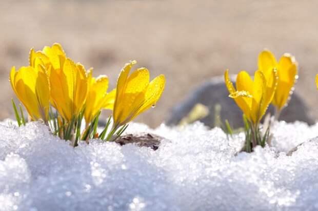 Первые, ранние! Украшаем сад примулами и мелколуковичными цветами