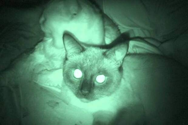 светящиеся в темноте глаза животного tapetum lucidum