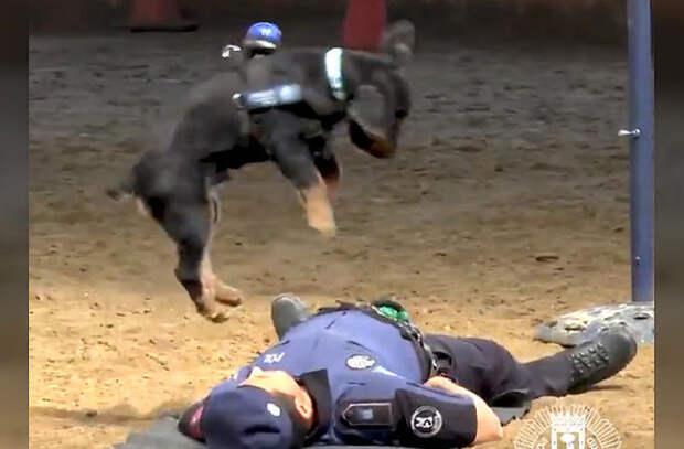 Полицейская собака «спасла» хозяина