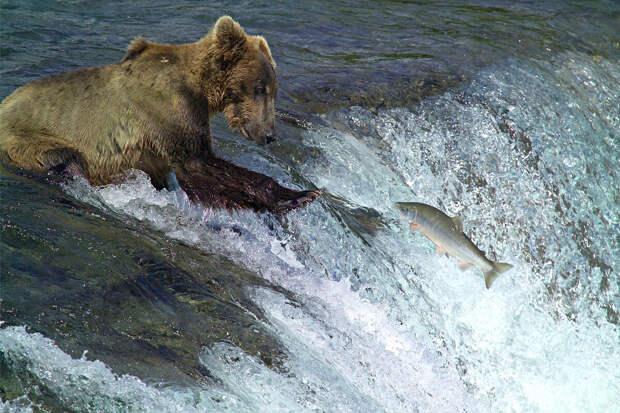Кадьяк: 6 фактов из жизни крупнейших бурых медведей