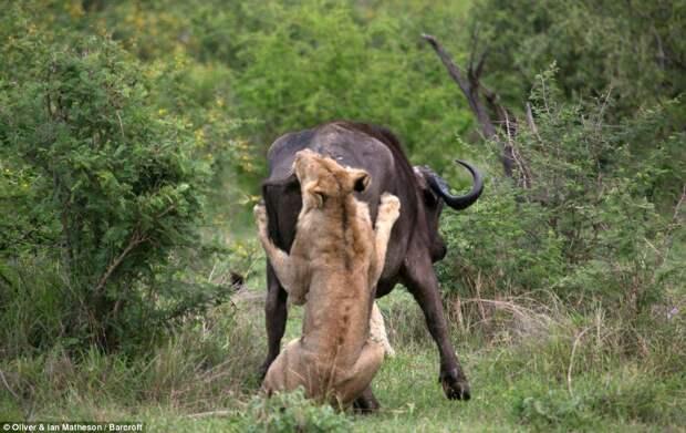 Сам погибай, атоварища выручай: как проявляется взаимовыручка удиких буйволов
