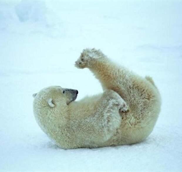 зарядка с полярными медведями