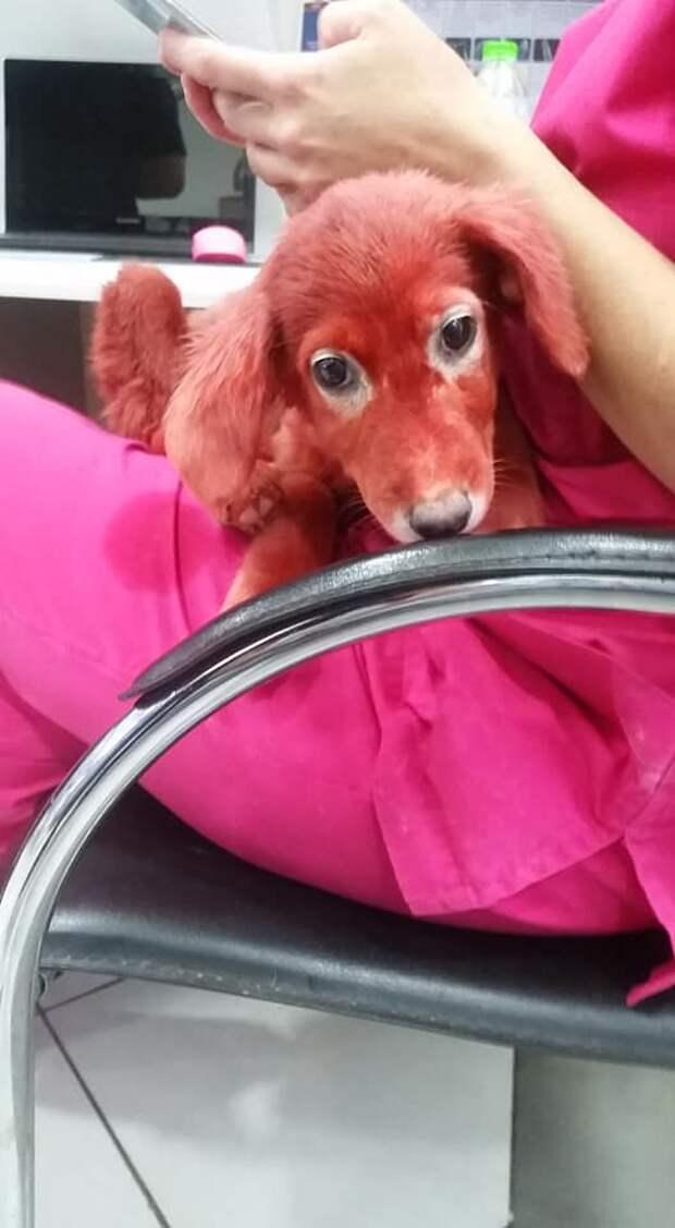 щенок красного цвета