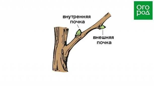 Расположение почек на плодовых деревьях