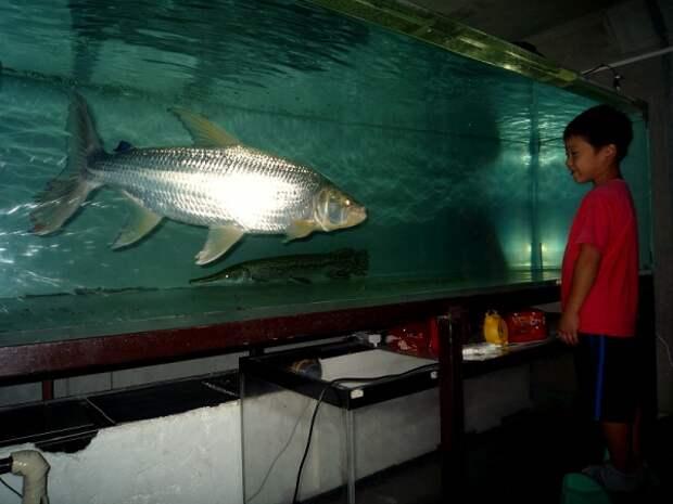 Тигровая рыба Голиаф: Африканская мегапиранья, пожирающая крокодилов