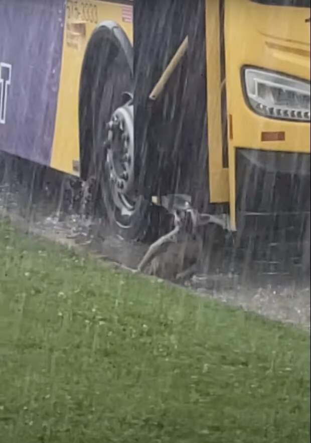 Енот-пассажир застрял под дождем в «ливневке», пытаясь запрыгнуть в автобус