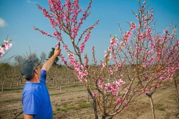 обработка персика весной против болезней и вредителей