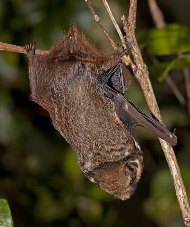 Гавайская пепельная летучая мышь (Lasiurus cinereus semotus)