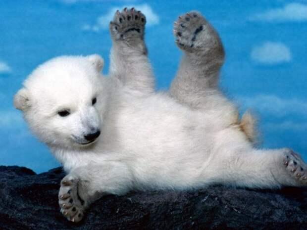 зарядка с белыми медведями