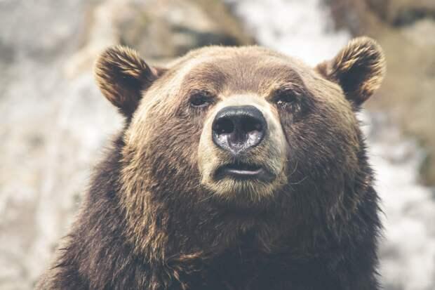 «Руку сохранить не удалось»: в Приамурье посетительница турбазы решила покормить медведя в клетке