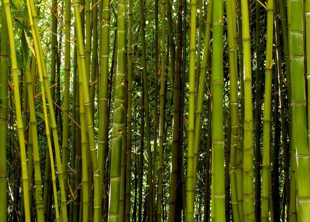 Французы заменят авиационный стеклопластик бамбуковым композитом